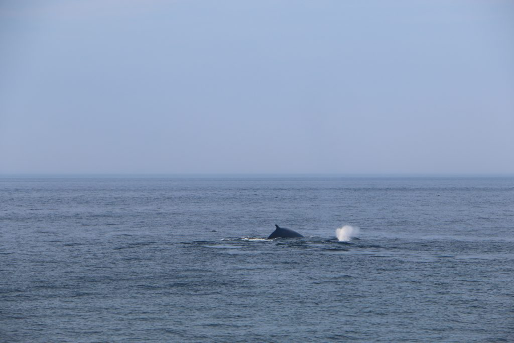 Fin-whale seen from Taudoussac